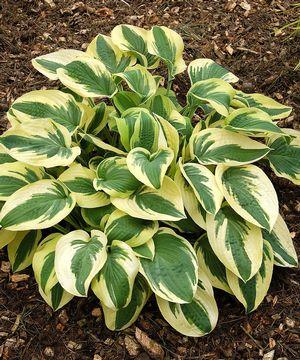 Hosta - 'Wide Brim' - 2 Gal.