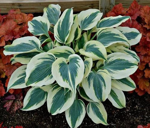 Hosta - 'Blue Ivory' - 2 Gal.