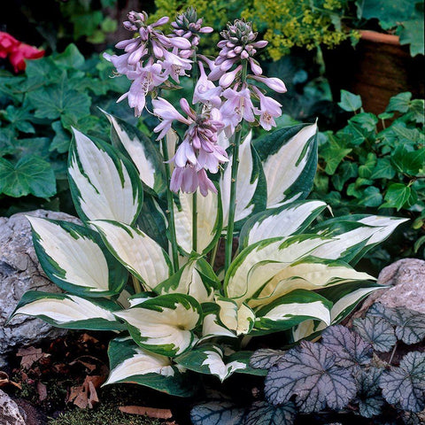 Hosta - 'Fire And Ice' - 2 Gal.