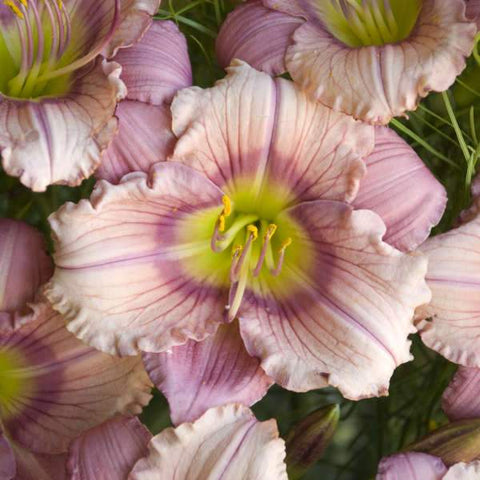 Daylily 'Stephanie Returns' - 2 Gal.