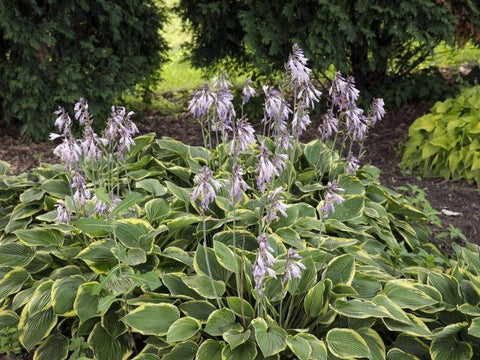 "Hosta - 'Fragrant Bouquet' - 12"" Pot"
