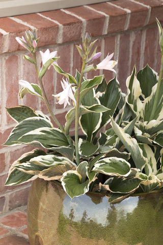 "Hosta - 'Christmas Tree' - 12"" Pot"