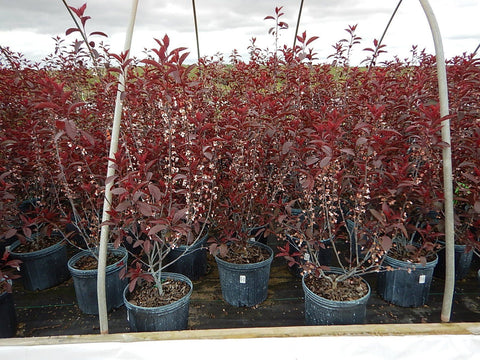 Prunus cistena -#3 Container<br/>Purpleleaf Sandcherry