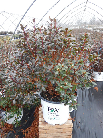Rhododendron 'Amy Cotta' - 3 Gal.