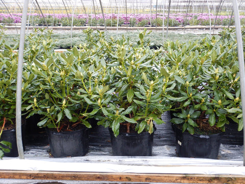 Rhododendron 'Boursault' - 5 Gal.