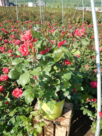Rose 'Knock Out®' - 3 Gal.