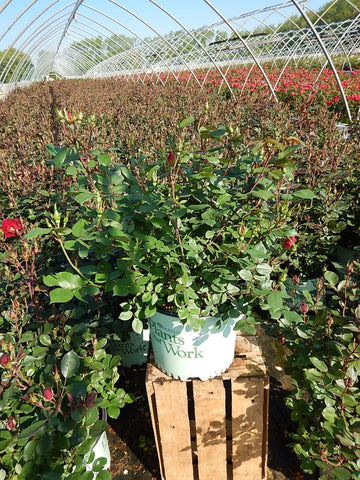 Rose 'Miracle On The Hudson™' - 3 Gal.