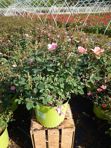 Rose 'Rainbow Knock Out®' - 3 Gal.