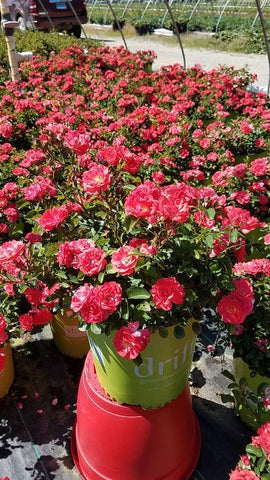 Rose 'Coral Drift®' - 2 Gal.