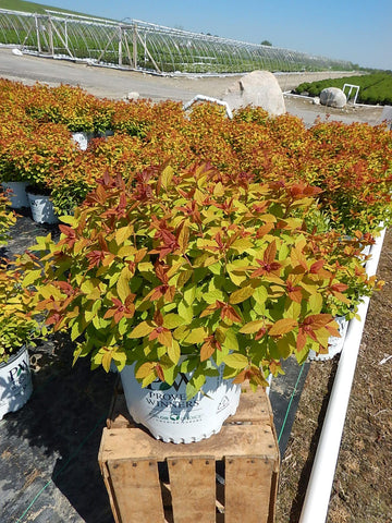 Spirea Double Play® 'Big Bang' - 3 Gal.