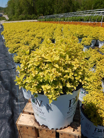 Spirea 'Double Play® Gold' - 3 Gal.