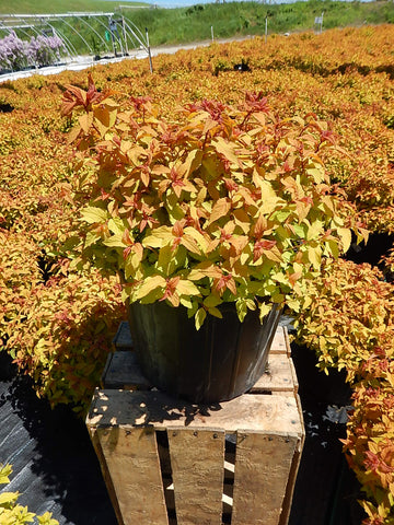 Spirea 'Gold Flame' - 3 Gal.