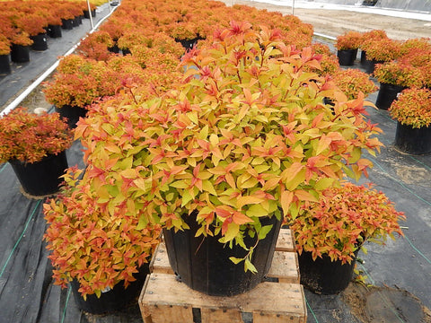 Spiraea bumalda 'Gold Flame'-#3 Container<br/>Goldflame Spirea