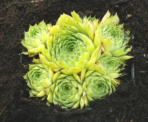 Hens & Chicks 'Limelight' - 1 Gal.