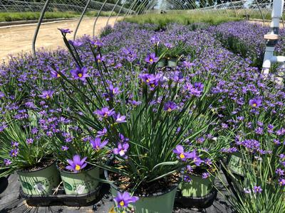 Blue-Eyed Grass 'Lucerne' - 1 Gal.
