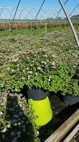 Spirea 'Little Princess' - 3 Gal.