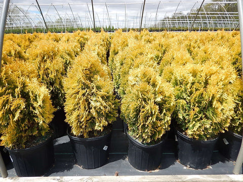 Thuja occidentalis 'Jantar' (Amber)-#3 Container<br/>Amber Gold Arborvitae