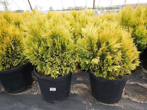 Thuja plicata '4Ever Goldy'-#3 Container<br/>4ever Goldy Western Arborvitae