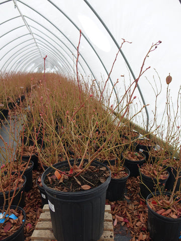 Vaccinium corymbosum 'Earliblue'-#2 Container<br />Earliblue Highbush Blueberry