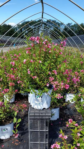 Weigela 'Sonic Bloom® Pink' - 3 Gal.