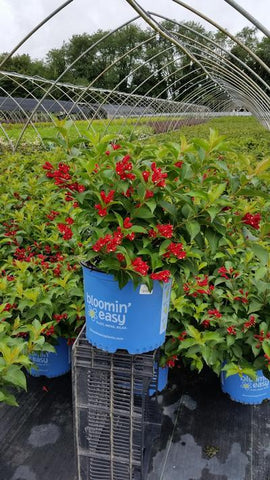 Weigela 'Date Night™ Maroon Swoon™' - 3 Gal.
