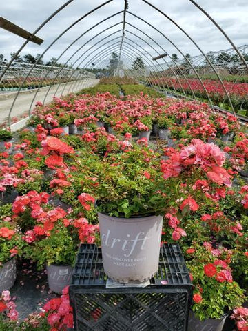 Rose 'Coral Drift®' - 2 Gal. Crop Shot for 2020-37