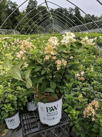 Hydrangea-Panicle 'Little Quick Fire®' - 2 Gal. Crop Shot for 2020-31