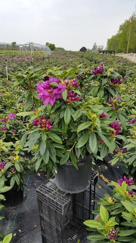Rhododendron 'Purple Passion' - 3 Gal. Crop Shot for 2019-19