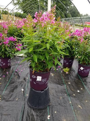 Phlox-Garden 'Bubblegum Pink™' - 2 Gal. Crop Shot for 2020-27