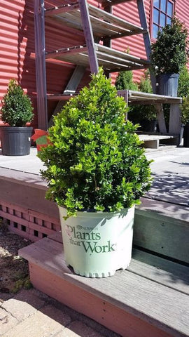 Boxwood 'Cranberry Creek' - 3 Gal. Crop Shot for 2019-40