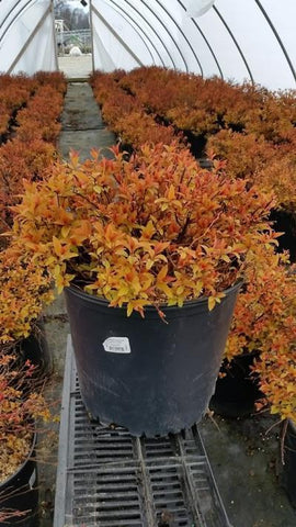 Spirea 'Gold Flame' - 3 Gal. Crop Shot for 2019-16