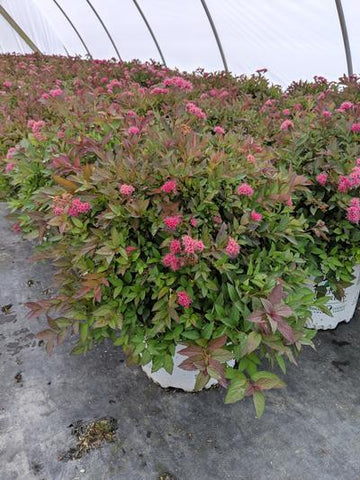 Spirea 'Double Play® Pink' - 3 Gal. Crop Shot for 2019-40