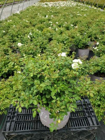 Rose 'The White Drift®' - 2 Gal. Crop Shot for 2020-31