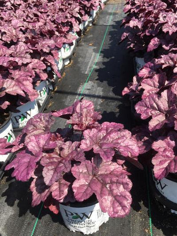 Coral Bells 'Primo™ Wild Rose' - 1 Gal. Crop Shot for 2019-33