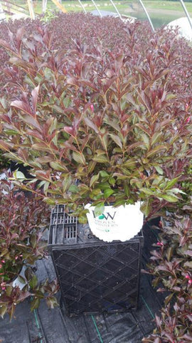 Weigela 'Wine & Roses' - 3 Gal. Crop Shot for 2020-30