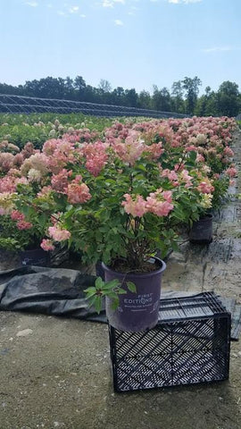 Hydrangea-Panicle 'Diamond Rouge® ' - 5 Gal. Crop Shot for 2019-32