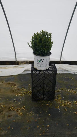 Boxwood 'Sprinter®' - 3 Gal. Crop Shot for 2020-20