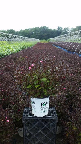 Weigela 'Fine Wine®' - 2 Gal. Crop Shot for 2019-33