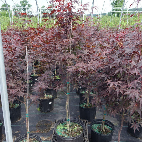 Bloodgood Japanese Maple - #3 Crop Shot for 2017-28