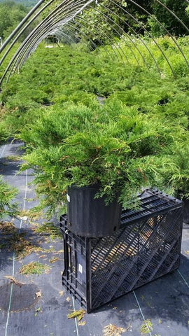 Russian Cypress - 3 Gal. Crop Shot for 2019-23