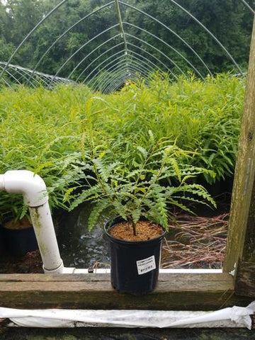 Sweetfern - 1 Gal. Crop Shot for 2020-30