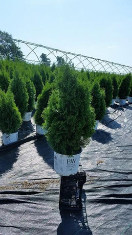 Arborvitae 'North Pole®' - 3 Gal. Crop Shot for 2019-33