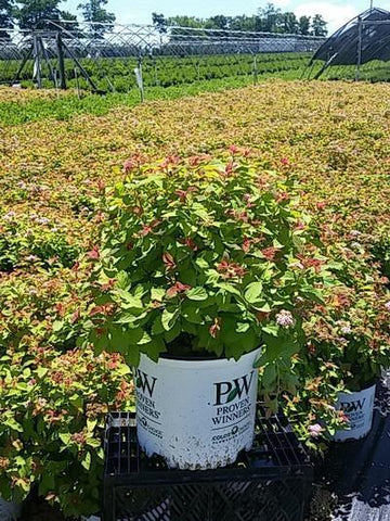 Spirea Double Play® 'Big Bang' - 3 Gal. Crop Shot for 2020-26
