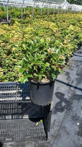 False Holly 'Goshiki' - 1 Gal. Crop Shot for 2019-32