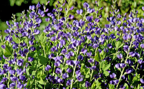False Indigo - 8 Inch