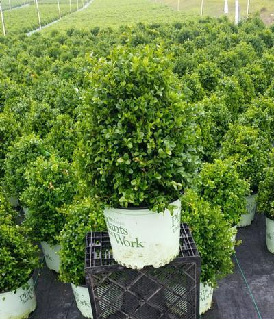 Boxwood 'Cranberry Creek' - 3 Gal. Crop Shot for 2019-24