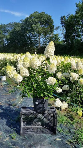 Hydrangea-Panicle 'Sweet Summer' - 3 Gal. Crop Shot for 2019-33
