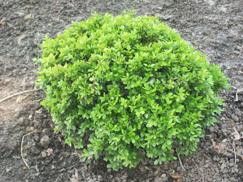 Boxwood - 'Wee Willie™' - 8 Inch