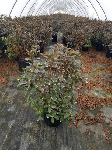 Rhododendron 'Pjm Elite' - 2 Gal. Crop Shot for 2020-12