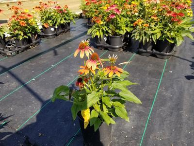 Coneflower 'Cheyenne Spirit' - 1 Gal. Crop Shot for 2019-33